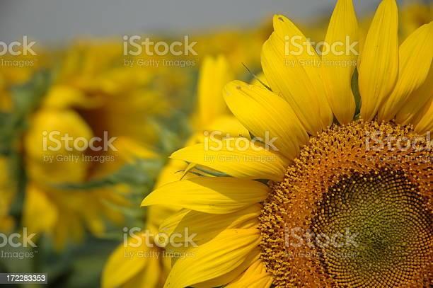Sunflower picture id172283353?b=1&k=6&m=172283353&s=612x612&h=6bjw9jiju2jqksdd4 eqzsv3uritafzwkaih02ozh5q=