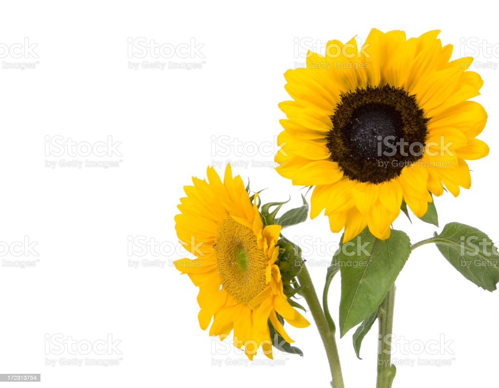 Sunflower (XL) royalty-free stock photo