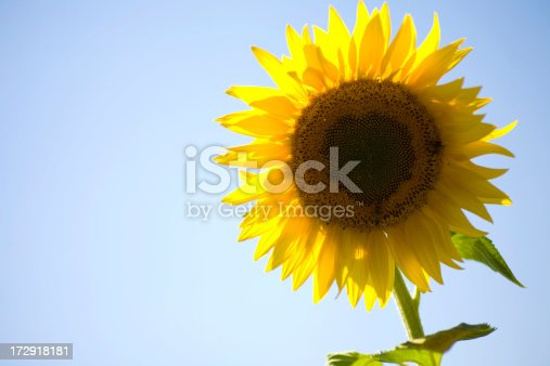 A lonely sunflower in the sun.