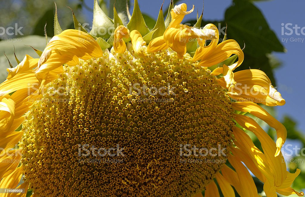 Sunflower (Click for more) royalty-free stock photo