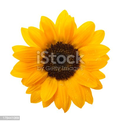 Sunflower with Clipping Paths.