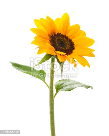 Sunflower on white.