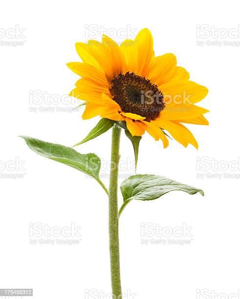 Sunflower picture id175455312?b=1&k=6&m=175455312&s=612x612&h=kxvoldkvhxcyxr6zda69w1fku8c33yl69gkhtzsmr6i=