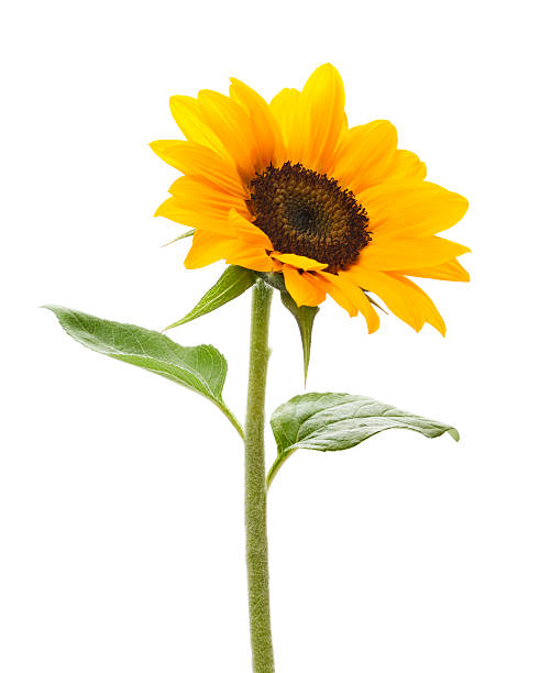 Sunflower Sunflower on white. single flower stock pictures, royalty-free photos & images