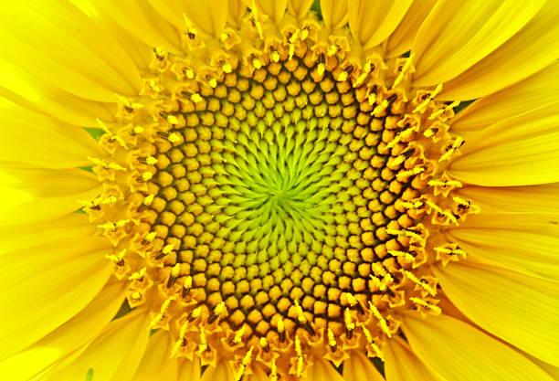 подсолнух - golden ratio стоковые фото и изображения