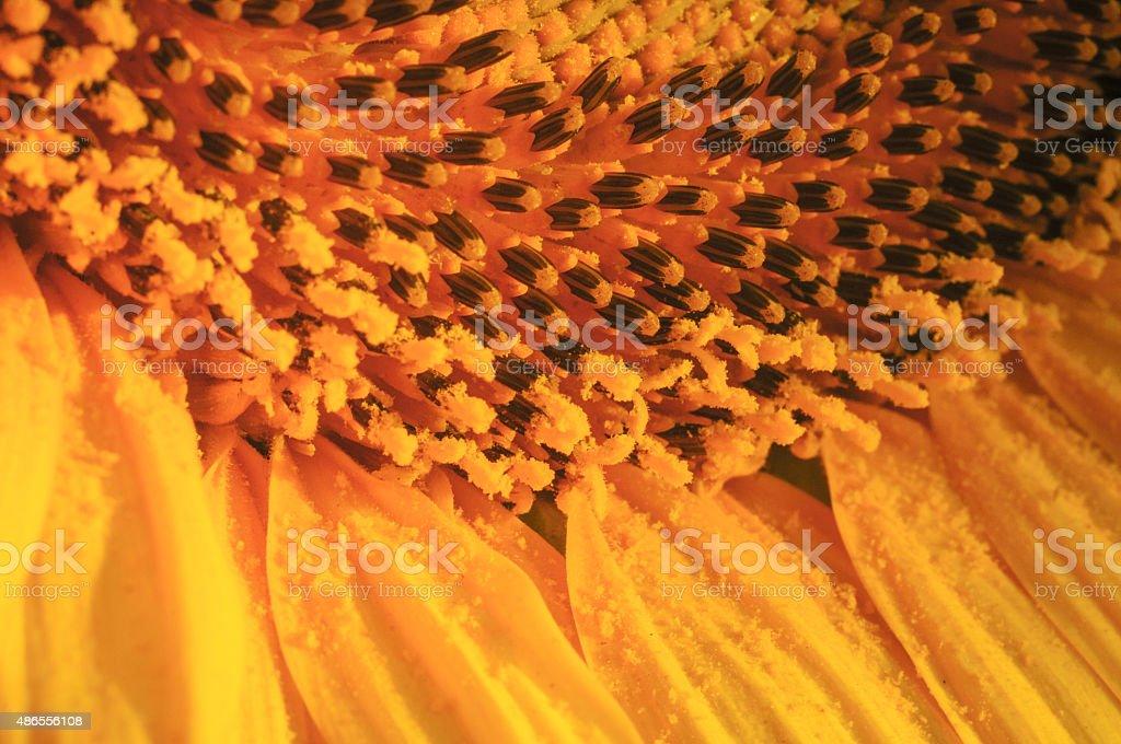 - Sonnenblume – Foto