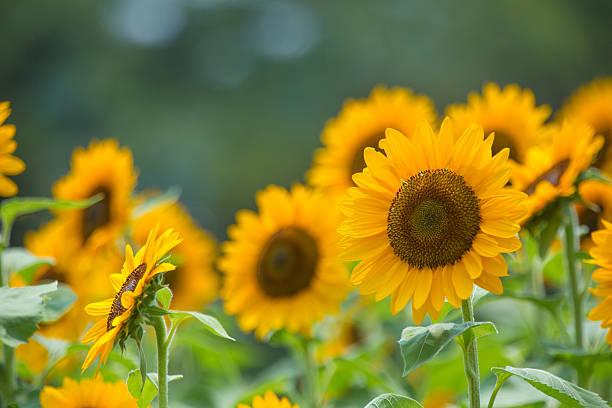 olej słonecznikowy (himawari - sunflower zdjęcia i obrazy z banku zdjęć
