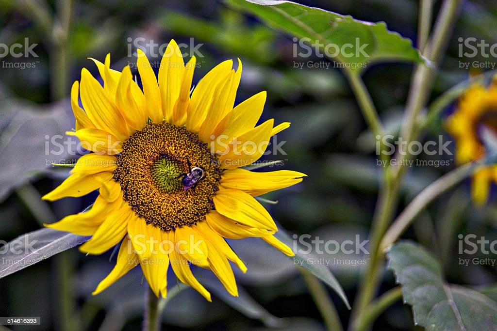 Sunflower stock photo