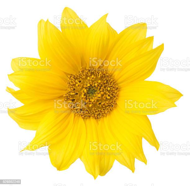 Photo of Sunflower.