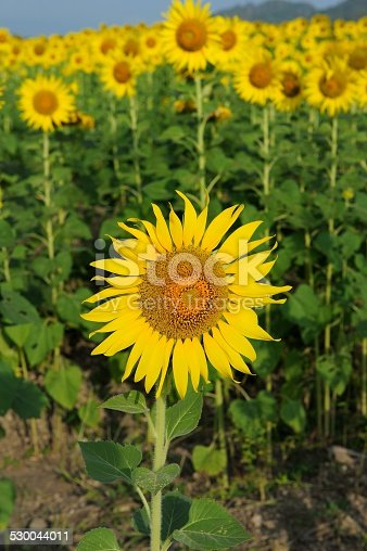 Sunflower in blue sky and bright sun lights