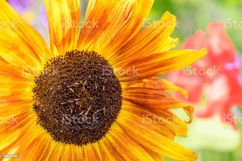 https://www.istockphoto.com/no/photo/sunflower-gm585181690-100325853