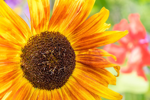 Sunflower Stock Photo - Download Image Now