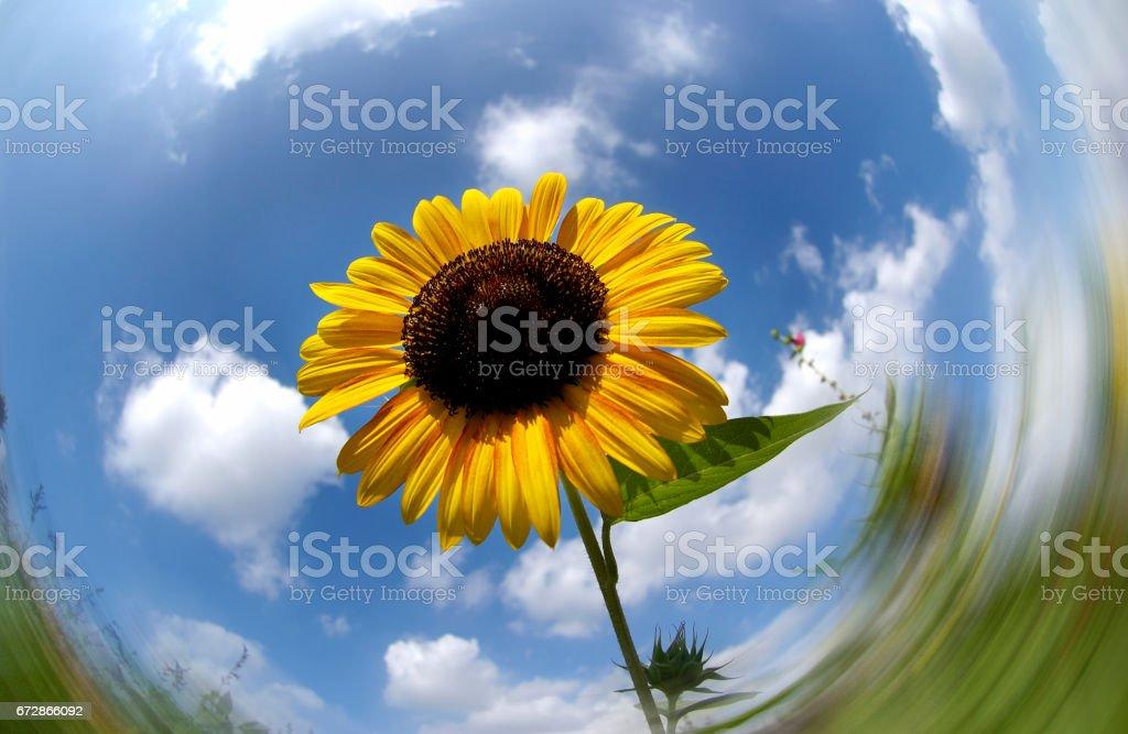 Ayçiçeği stok fotoğrafı