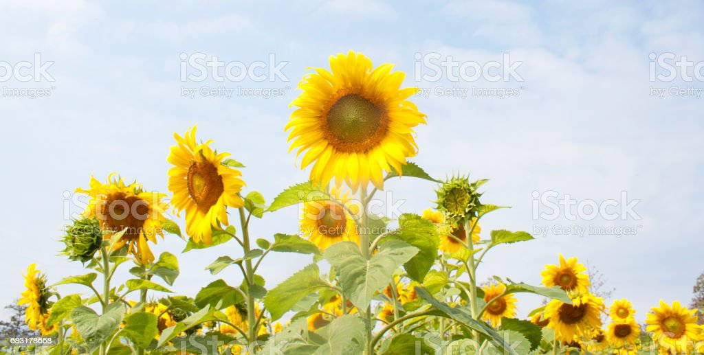 sunflower royalty-free 스톡 사진