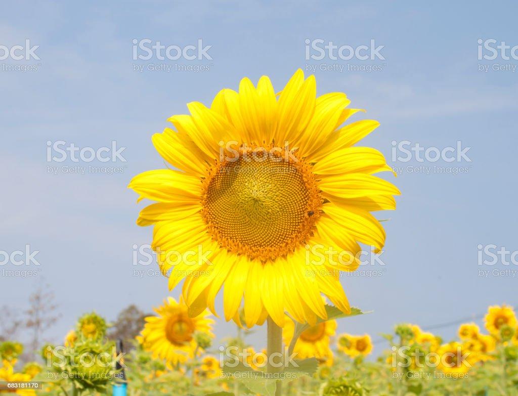 sunflower royalty-free 스톡 사진