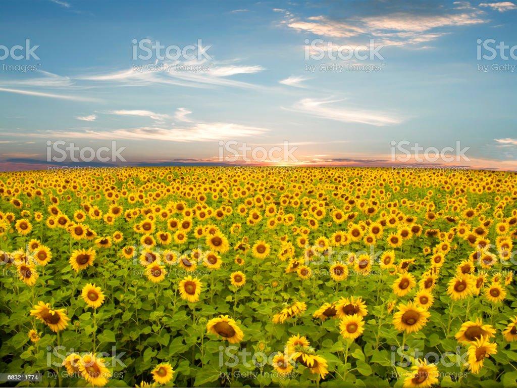 sunflower 免版稅 stock photo