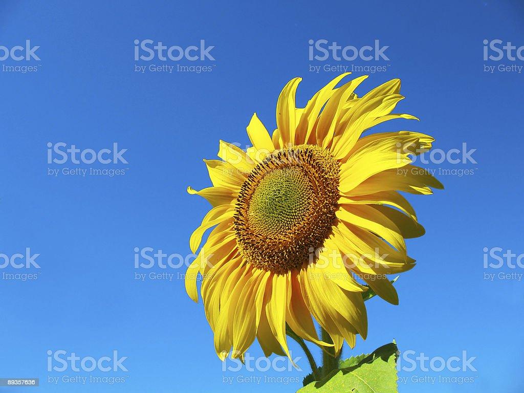 sunflower royalty free stockfoto