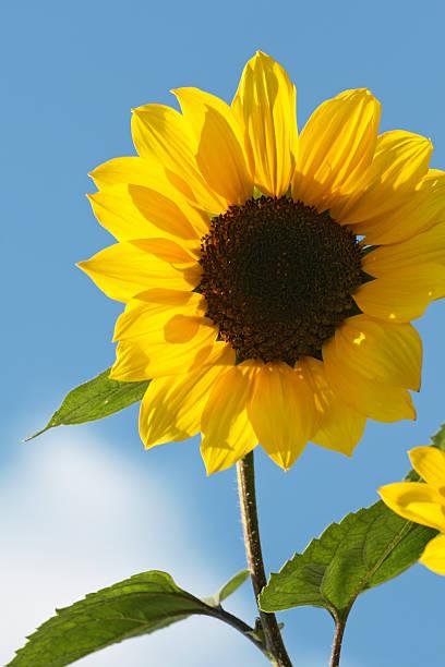 - sonnenblume - gblu stock-fotos und bilder