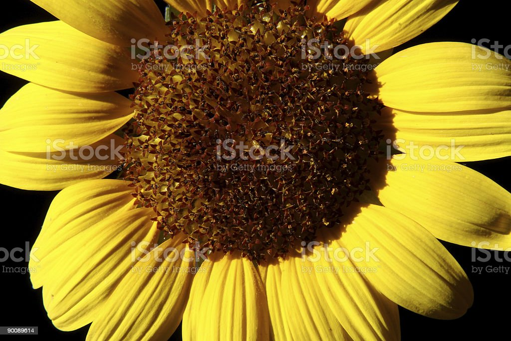 sunflower royalty-free stock photo