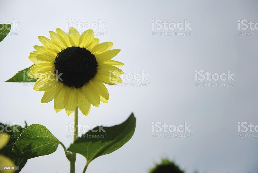 girassol - Foto de stock de Agricultura royalty-free