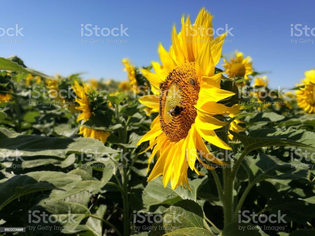 Sunflower pollen – Foto