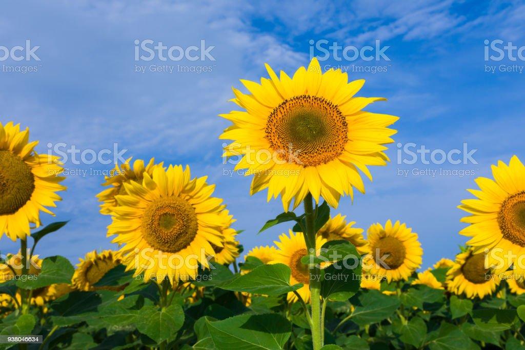 Sunflower plant stock photo