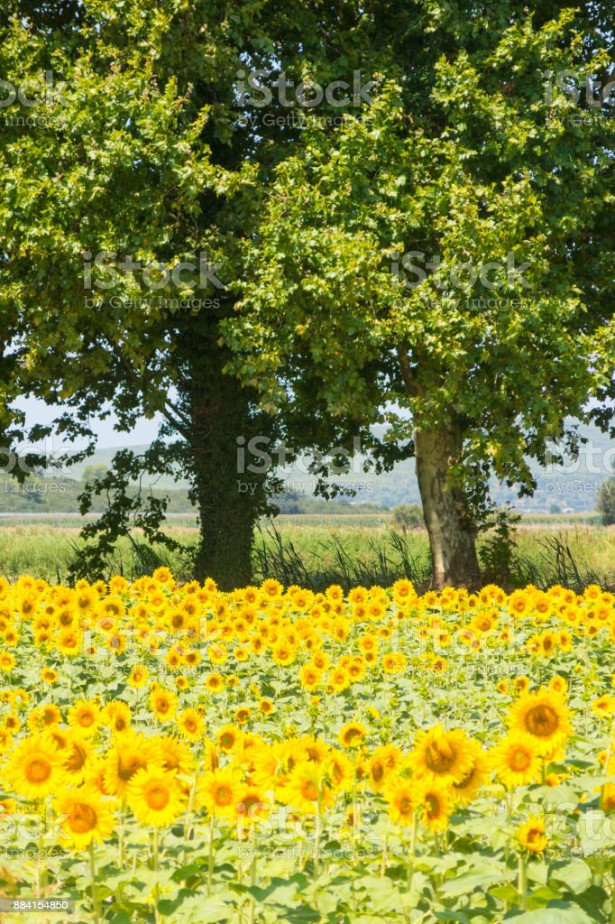 Sunflower plantation on a nice summer day stock photo