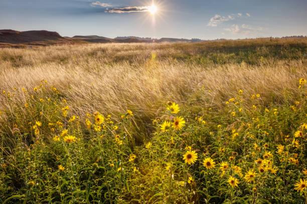Prairie de tournesol au lever du soleil - Photo