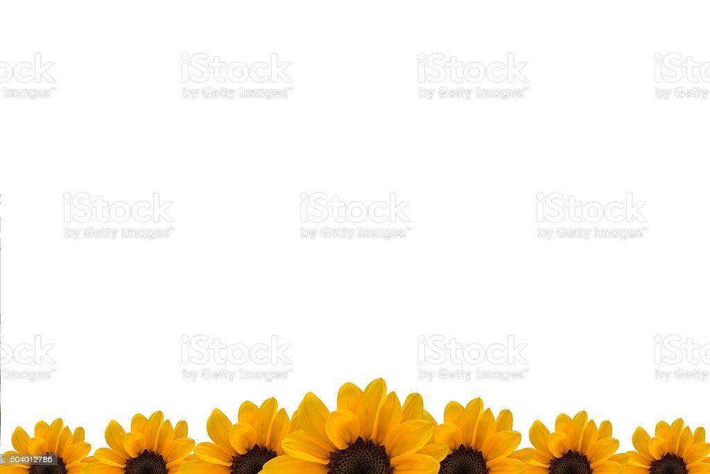 Modello Di Presentazione Con Girasole Sfondo Bianco Fotografie