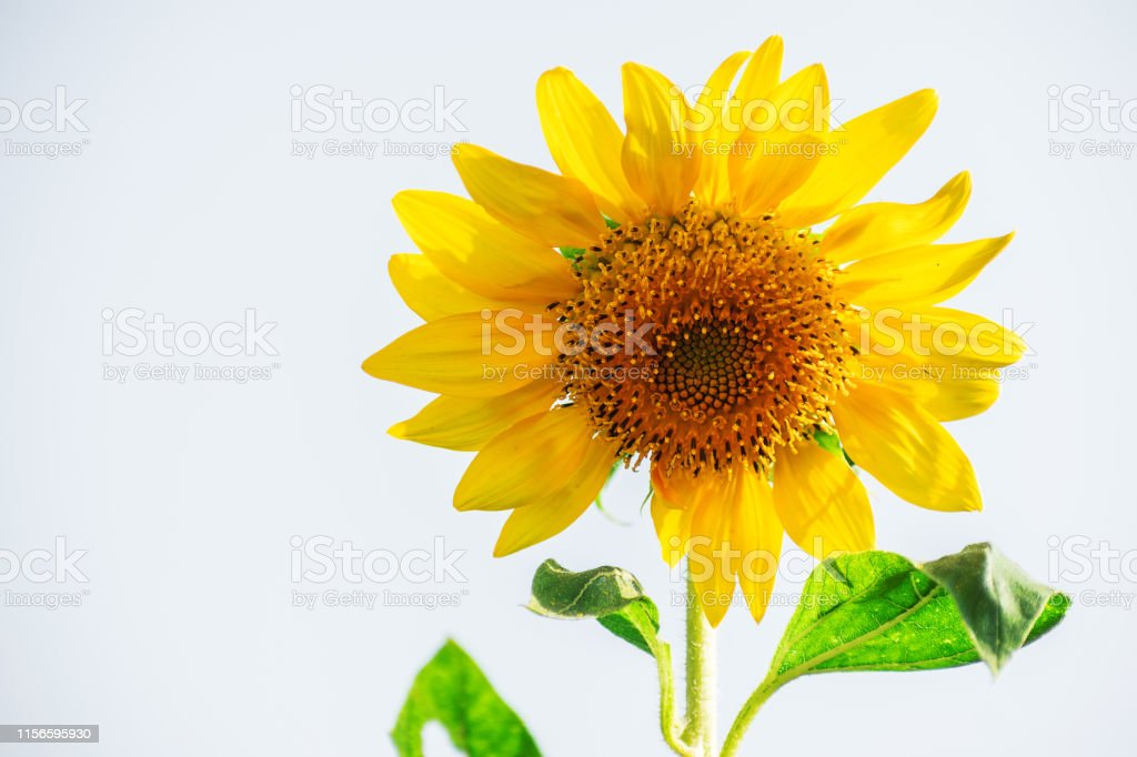 sunflower red yellow green white background with space flower head...