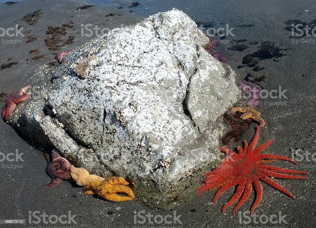 Sunflower Seastar, Multi-Colored Star Fish on Rock at Low Tide stock photo