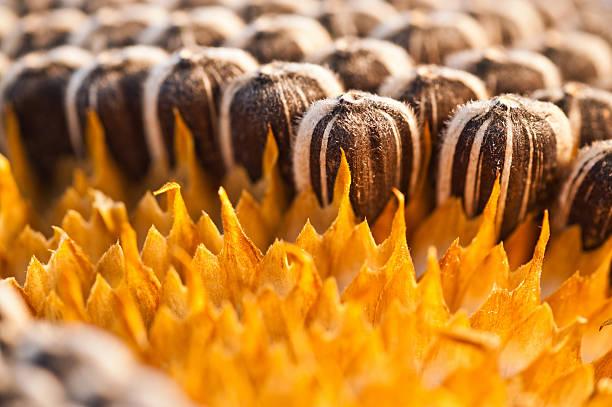 Sunflower Seed stock photo