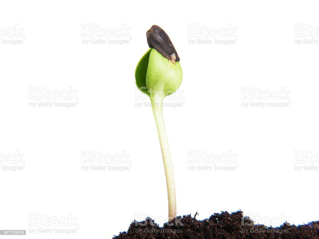 Sunflower seeds germination stock photo