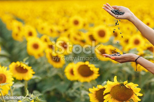 Sunflower seeds in hand close up against the background of blooming sunflower field
