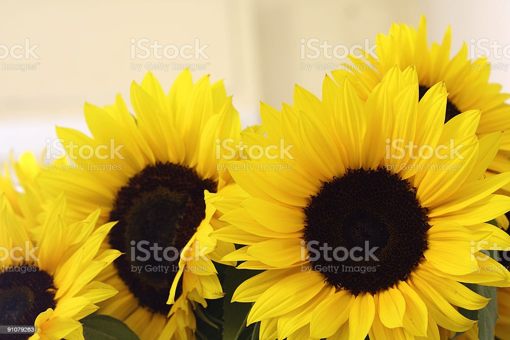 Sunflower series royalty-free stock photo
