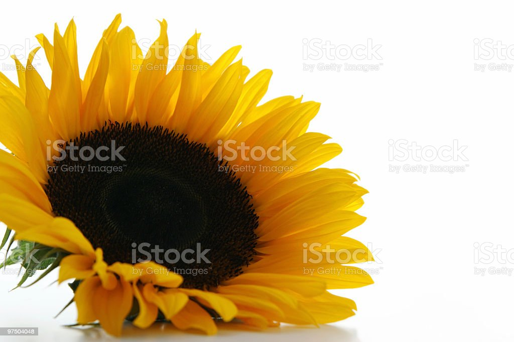 Sunflower series royalty-free stock photo