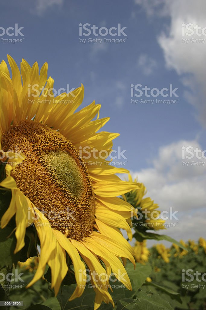 sunflower sky royalty-free stock photo