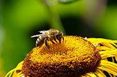 Sunflower, Sonnenhut - Rudbeckia fulgida and the bee. Munich, Bavaria.