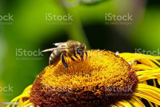 Photo of Sunflower, Sonnenhut - Rudbeckia fulgida and the bee. Munich, Bavaria.