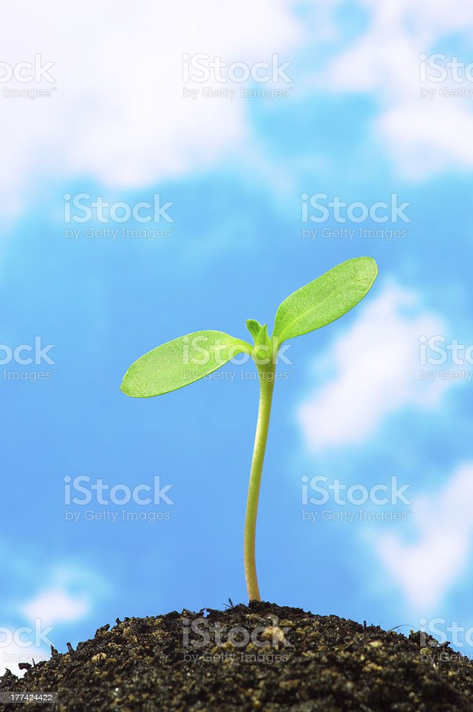 Sunflower sprout on blue sky background.(vertical) stock photo
