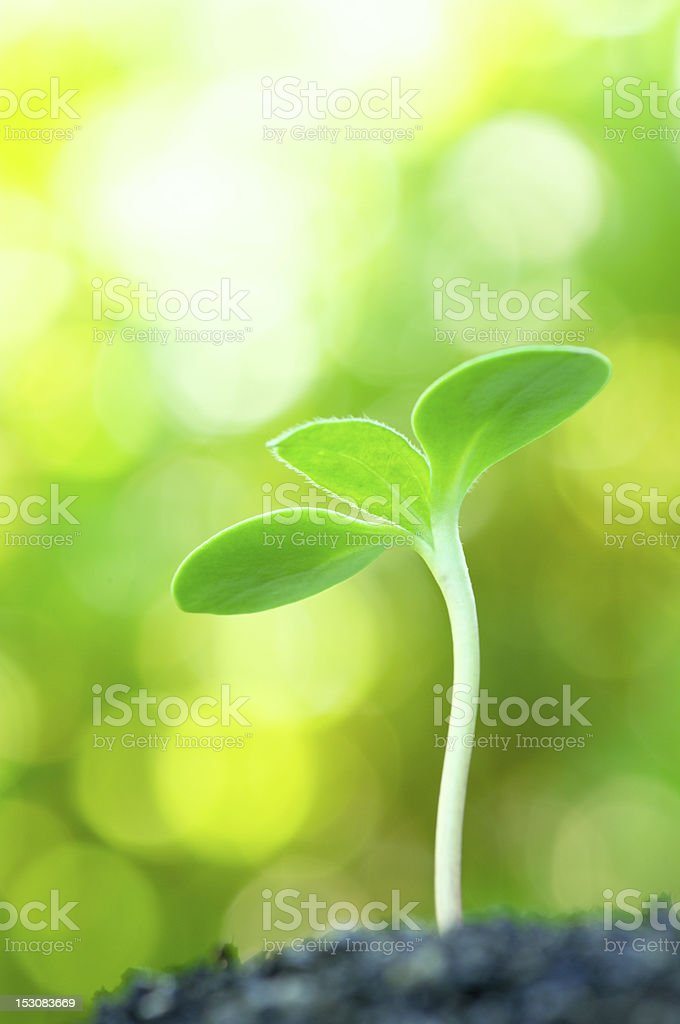 Sunflower sprout on yellow bokeh background.(vertical) stock photo