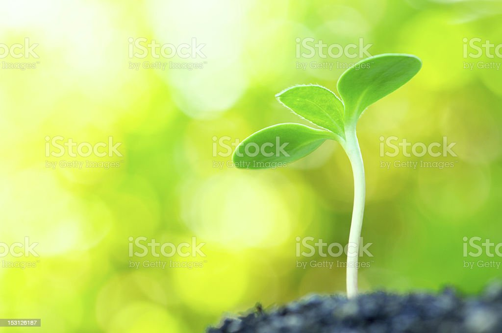 Sunflower sprout on yellow bokeh background.(horizontal) stock photo