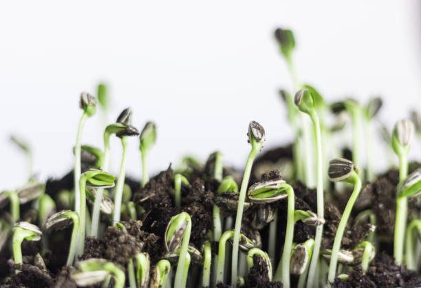 Sunflower sprouts stock photo