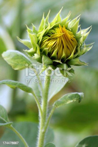 A sunflower bud just beginning to open.