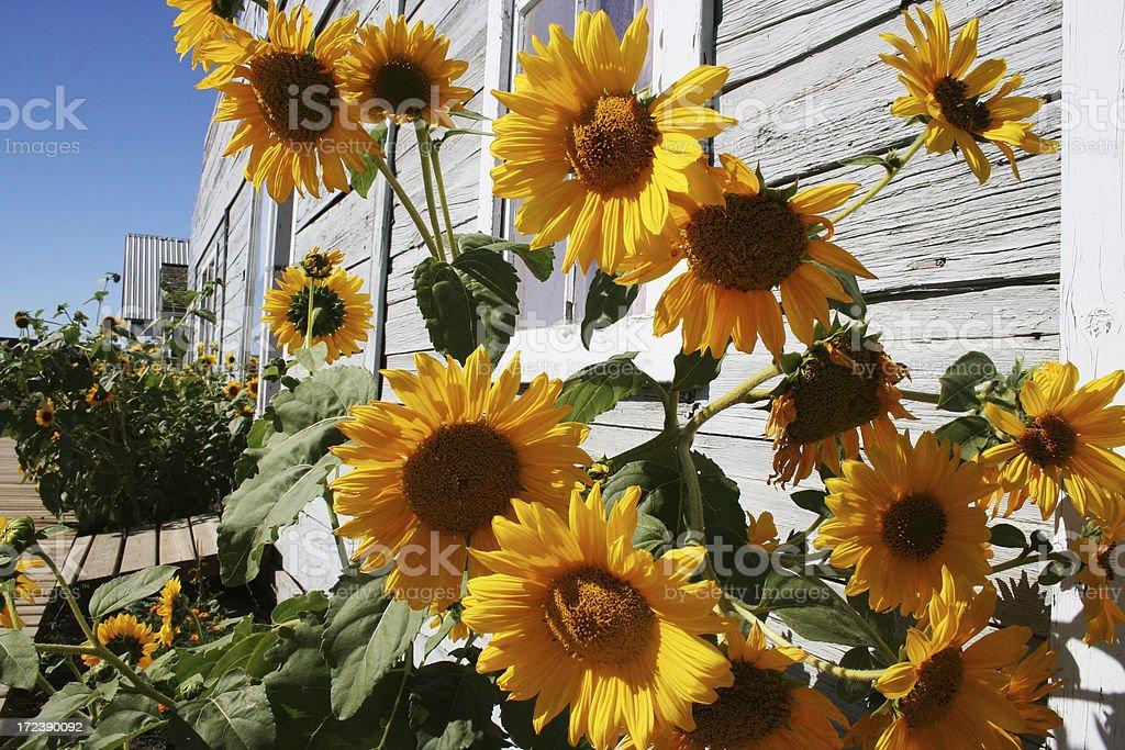 sunflower street royalty-free stock photo