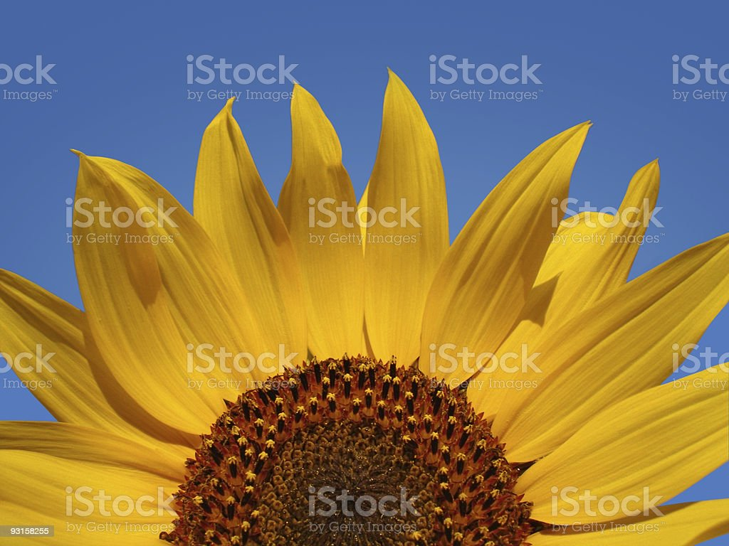Sunflower Top Against Blue Sky royalty-free stock photo