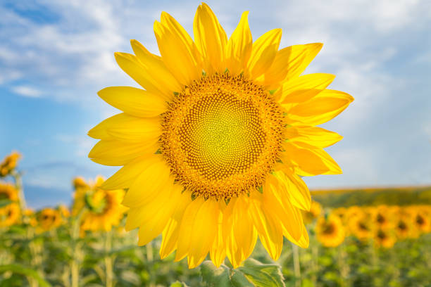 Sunflower, Verona, Wisconsin, USA A bright yellow sunflow in full bloom on a sunny summer day dane county stock pictures, royalty-free photos & images