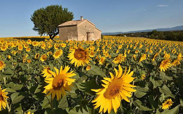 Sunflower villa stock photo