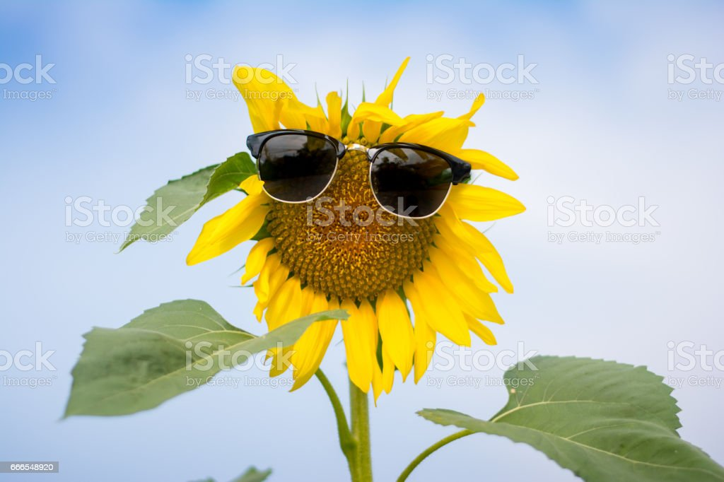 Sunflower wearing sunglasses in the field and blue sky - Background, Wallpaper stock photo