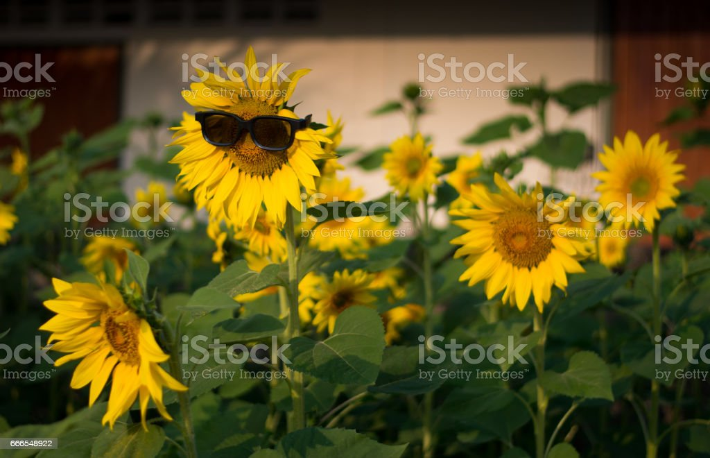 Sunflower wearing sunglasses in the field - Background, Wallpaper royalty-free stock photo